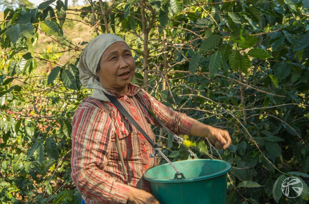 Akha hilltribe farmer picking Thai coffee at Pha Deng Luang
