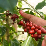 Close-up of one of the farmers picking coffee in Thailand at Pha Deng Luang.